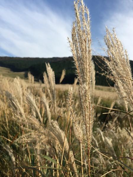 箱根すすきの草原