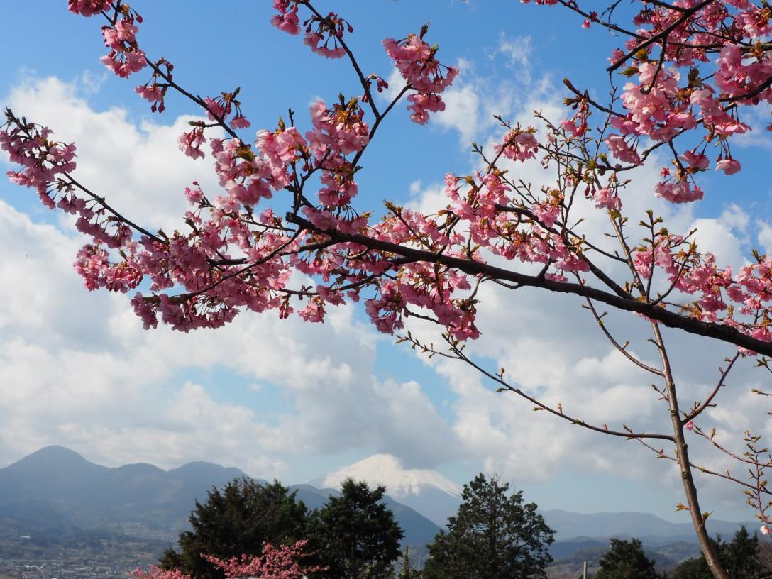 ♬河津桜♬~西平畑公園~