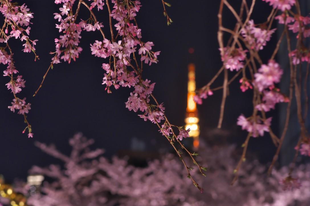 夜桜に魅せらせて…