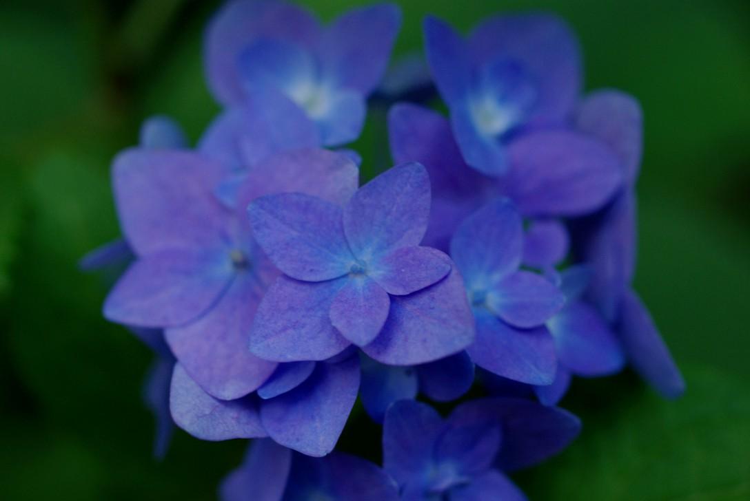 5月の鎌倉「明月院」