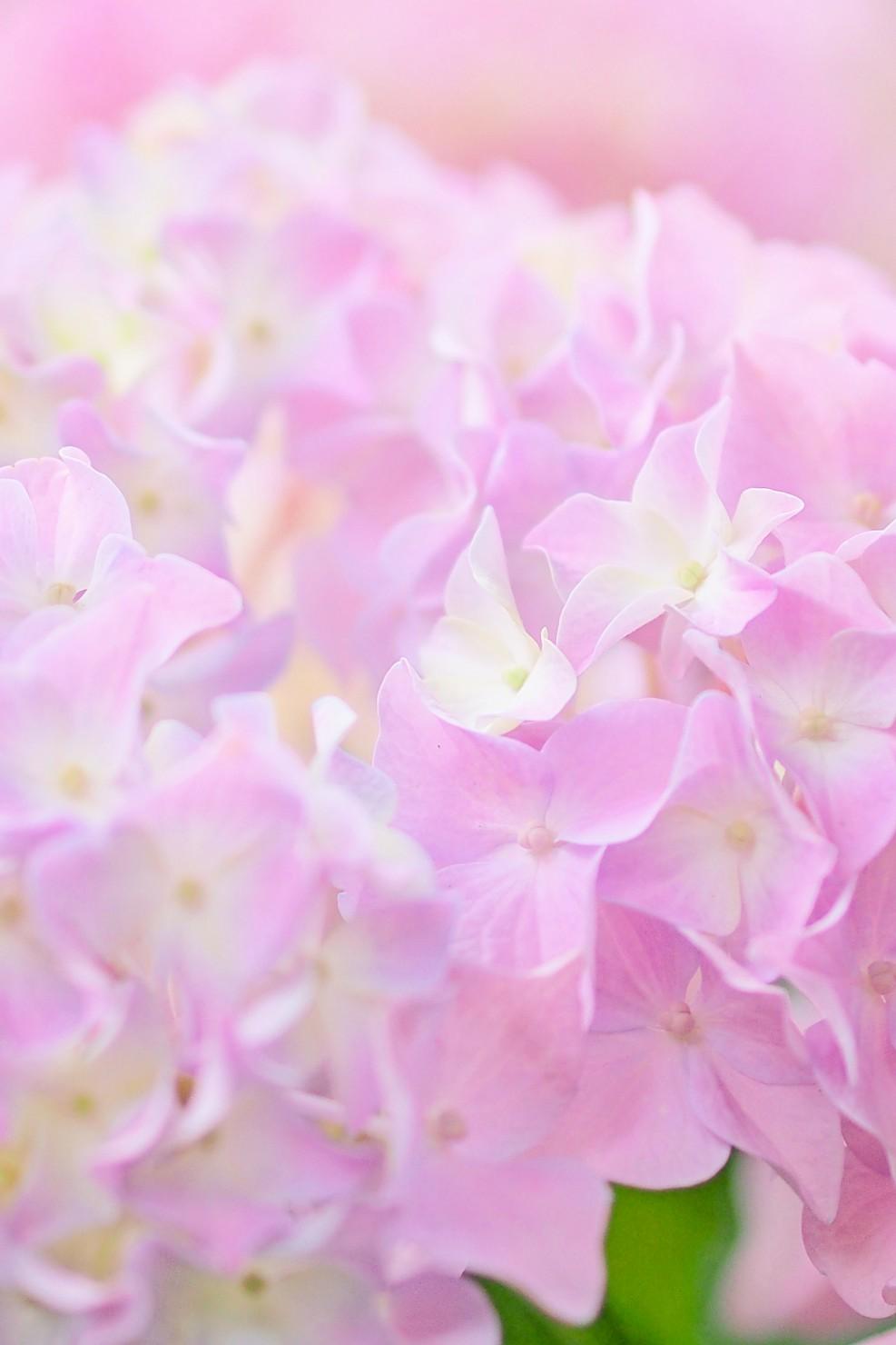 *紫陽花シーズン*