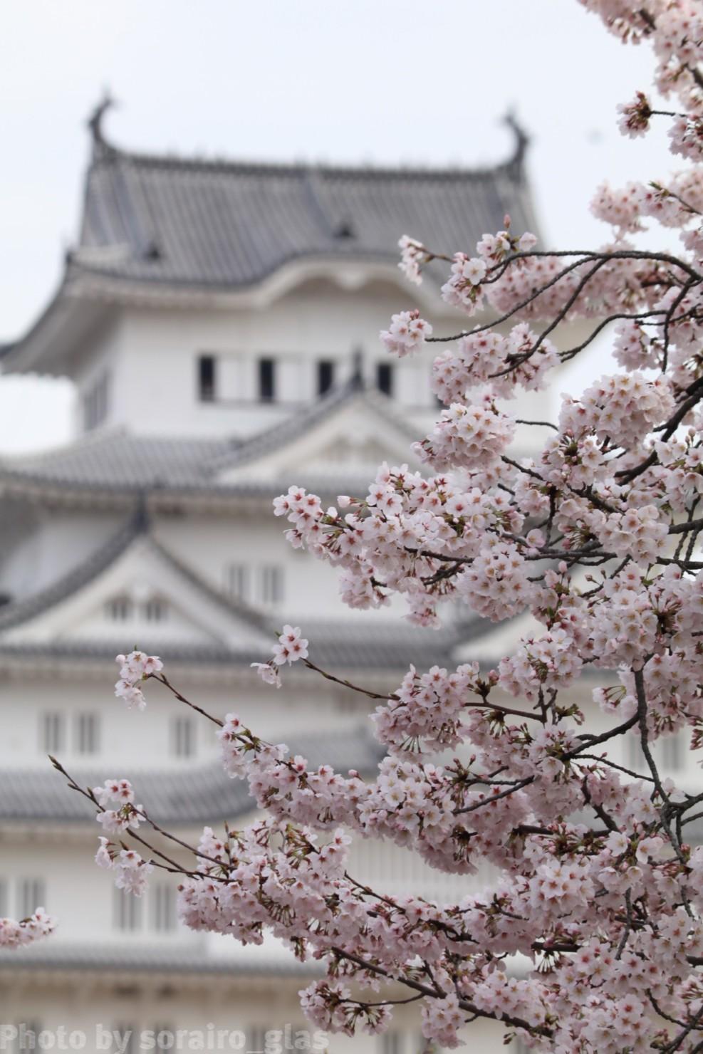 今年最後の桜とお城🌸