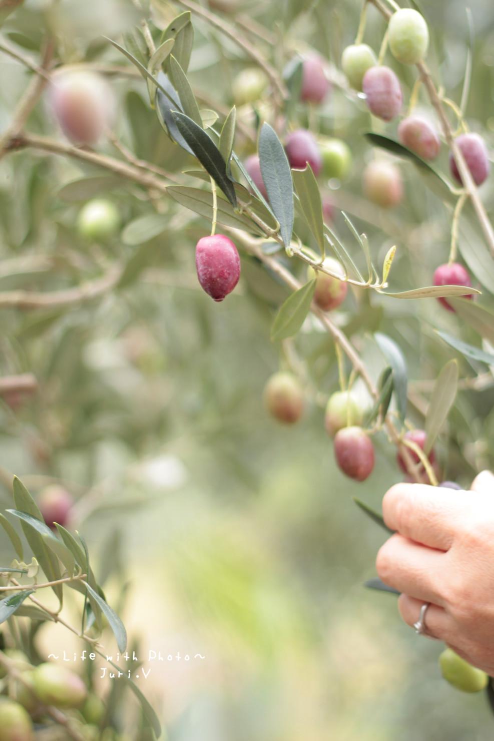 オリーブ摘み体験