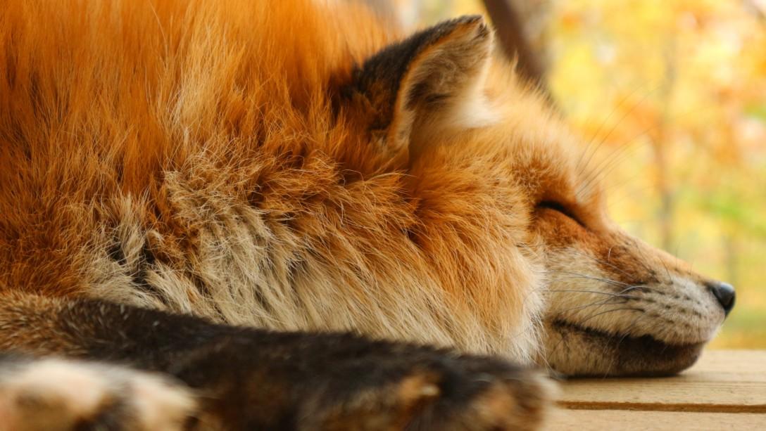 FOX-蔵王キツネ村-