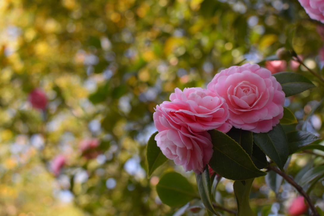 しだれ梅と椿まつり。