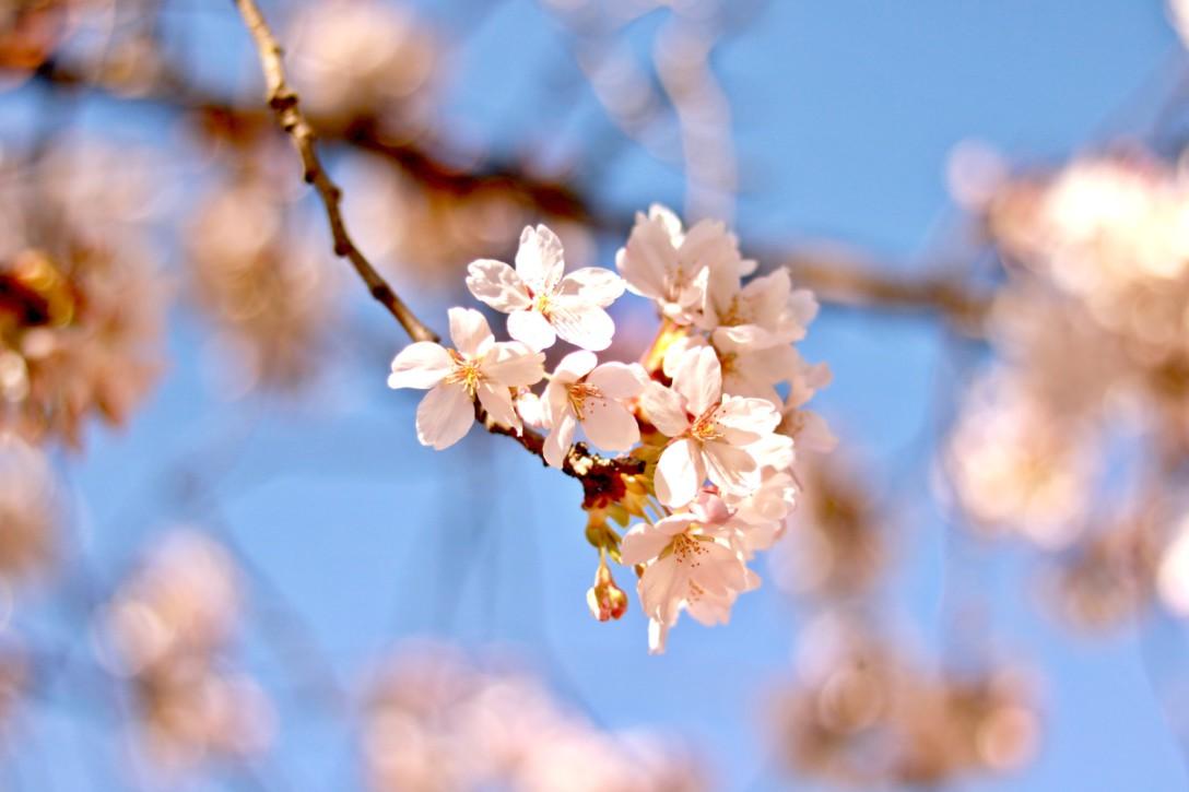 シアトルでも桜は咲く✿