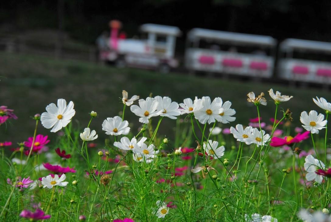 くりはま花の国 コスモス園