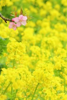 辻村早咲~梅祭り~