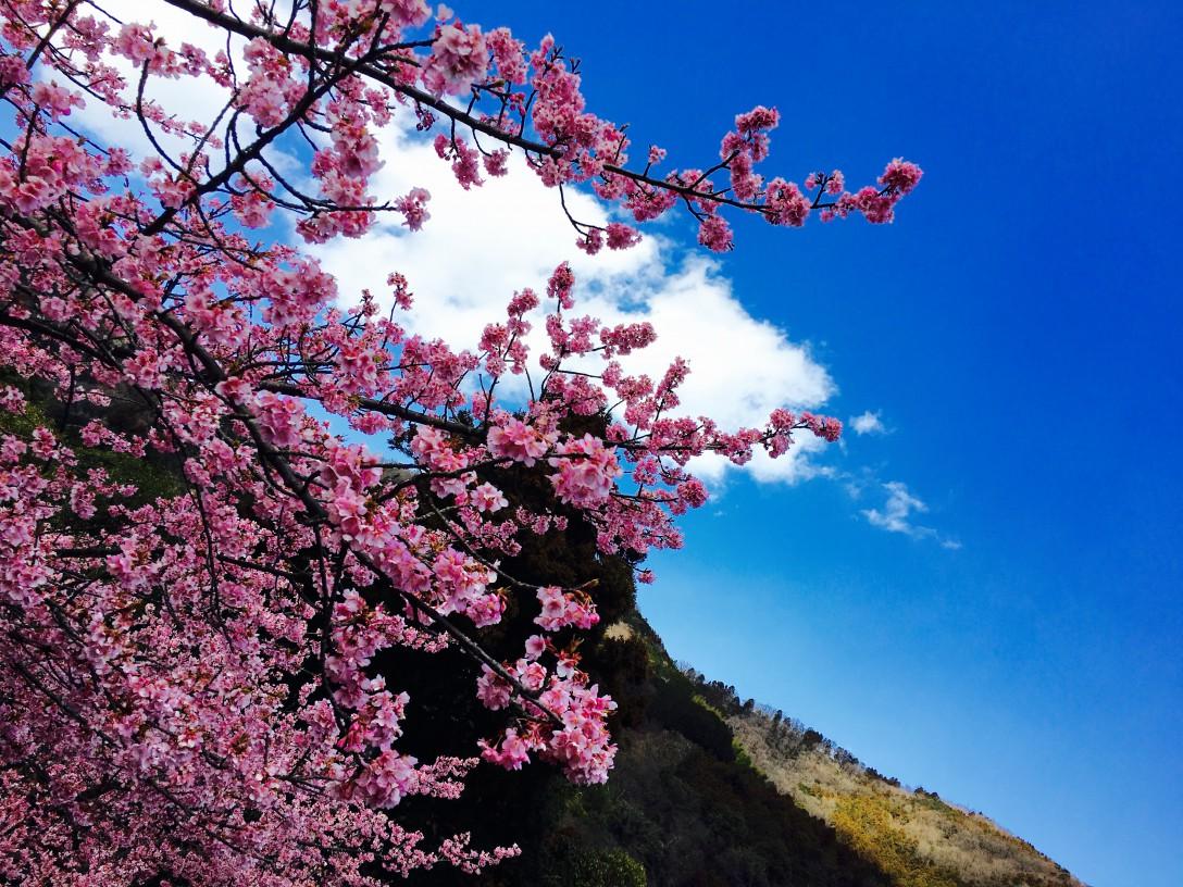 河津桜~1~