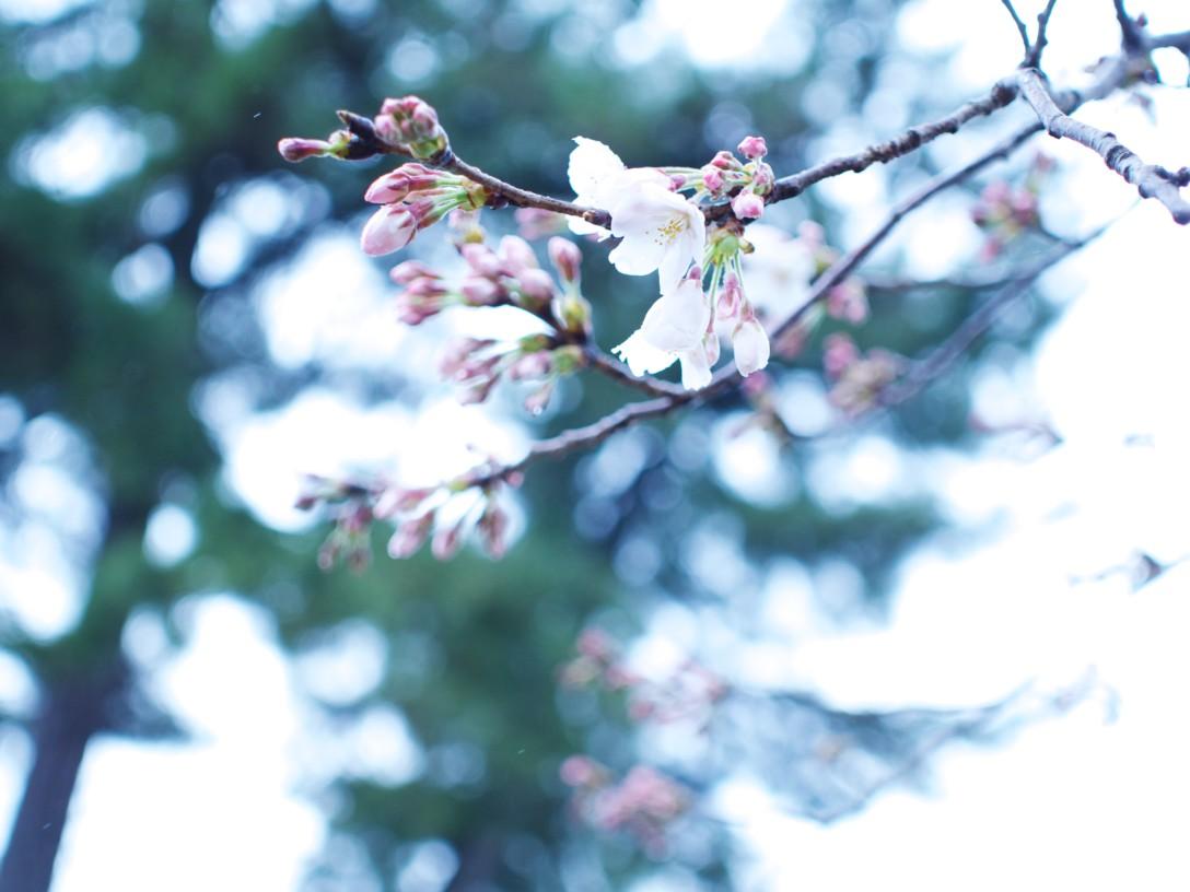 雨の日のお花見