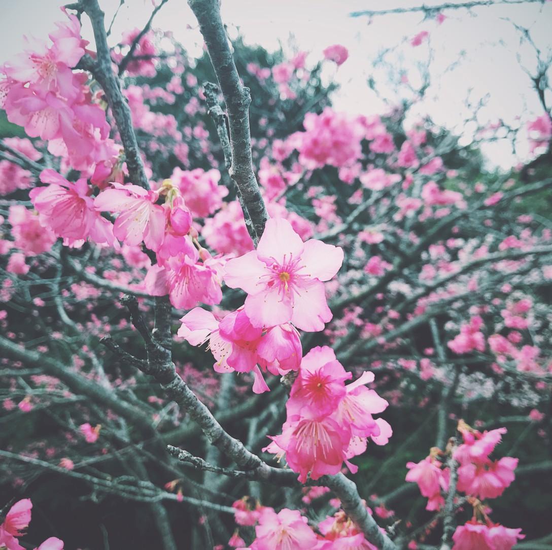 沖縄の桜は濃いめのピンク💗🖤